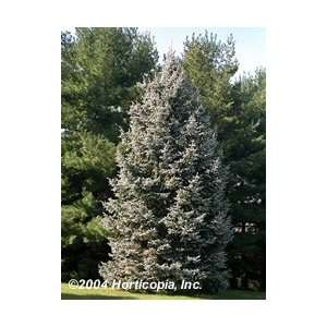 Black Hills Spruce Tree   One Gallon Pot Patio, Lawn