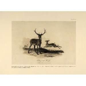1924 Stag Hind Red Deer Antlers English Antique Print